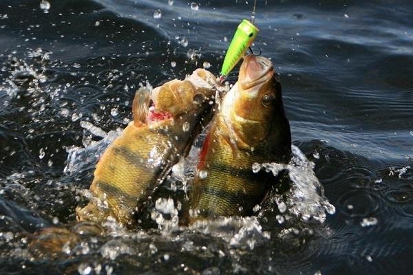 На что подкармливать рыбу в весенний, летний период. 14978.jpeg