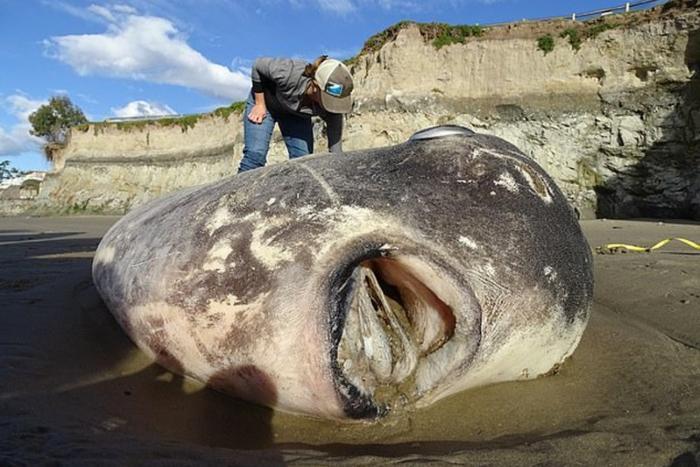Такую огромную рыбу не ловили за всю историю человечества. 14981.jpeg