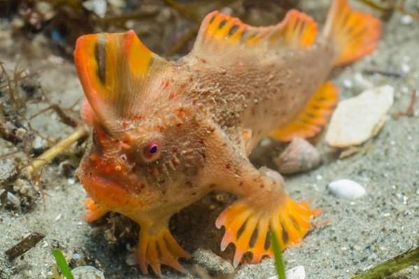 Исчезающие виды атлантических рыб. Лопата-рыба. 13996.jpeg