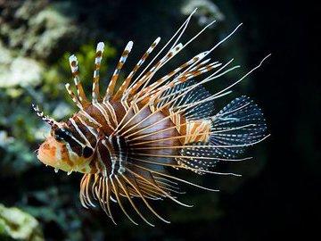 Экзотические рыбы тропических морей. Рыба-лев
