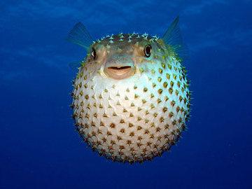 Знакомство с рыбой фугу