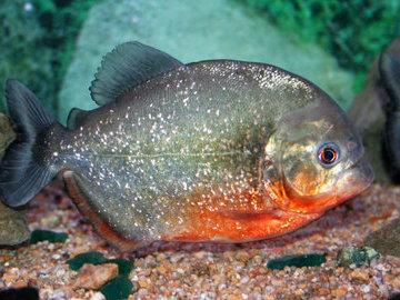 В шахтинском водоеме рыбак поймал пиранью