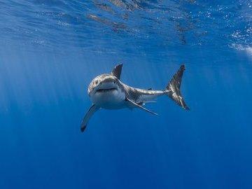 Почему нам повезло иметь акул. Регулирование морских пищевых цепочек