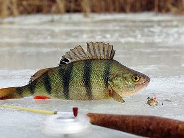 Как поймать окуня на блесну зимой