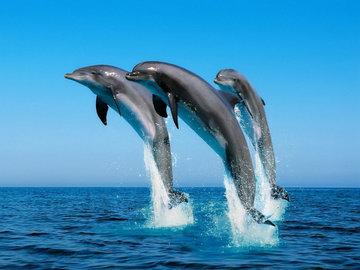 Специалисты оценят состояние популяции черноморских дельфинов
