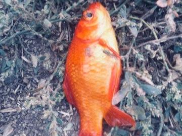 Жители Мурманска выловили из озера золотую рыбку