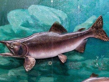 Интернациональная рыба
