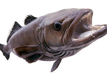 Жуткая, но вкусная и полезная рыба - клыкач