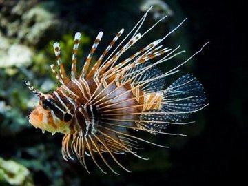 Украшение Карибского моря - крылатка