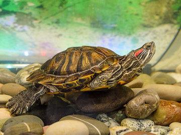В Красногорске красноухих черепах из фонтана отправили на зимовку
