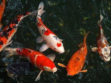 Вверх по течению: как японский карп стал «королём всех рыб»
