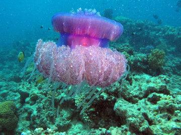 В ООН озаботились неконтролируемым размножением медуз
