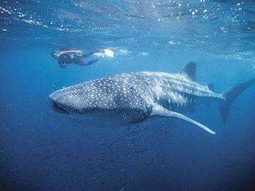 Китовая акула: огромная жительница австралийских вод