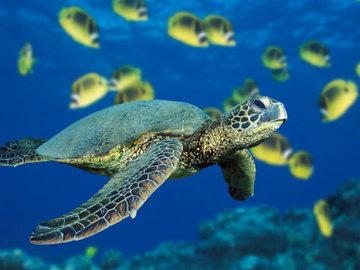 Израильские биологи спасают редких зеленых черепах