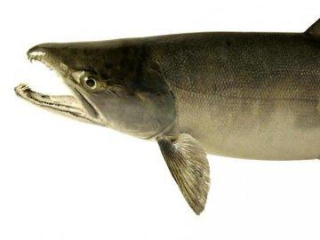 Что нужно знать о рыбе кета