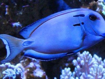 Королевская рыба