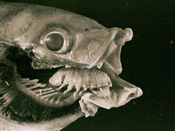 Языковая мокрица - хитрый паразит рыб