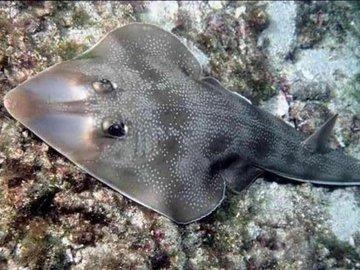 Рыба-гитара - музыкальное соло под водой
