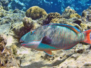 Рыба-попугай: украшение коралловых рифов