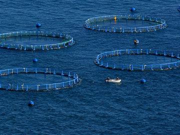 """В 2050 году морскую рыбу будут ловить на морских """"огородах"""""""