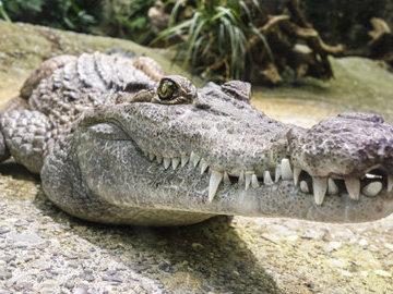 Ульяновский зоопарк готов приютить московского крокодила Диму