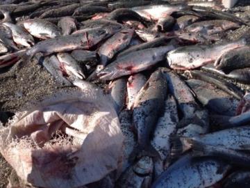 Рыбу ловят и выбрасывают на свалку