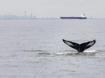 Горбатый кит заплыл в реку под Лондоном