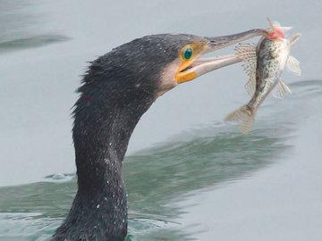 Птицы помогают китайским рыбакам ловить рыбу