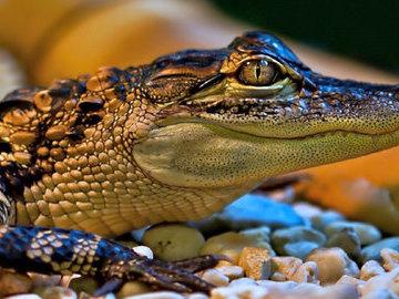 В Индии крокодил напал на женщину во время мытья посуды