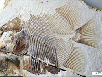 Нашим предком назвали ушастую рыбу