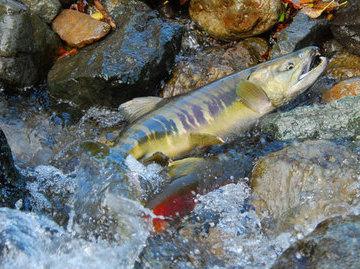 В реке Поронай закрыт промысел кеты