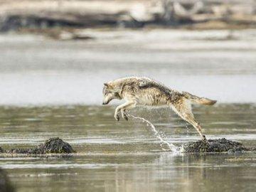 Ученые узнали, что волки умеют ловить рыбу