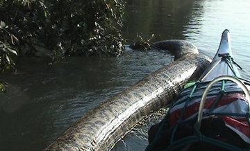 Рыбаки до смерти перепугали огромную анаконду