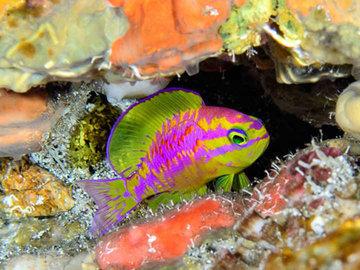 Ихтиологи нашли новый вид Tosanoides