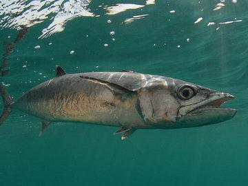 В Австралии крупная макрель плавником порезала шею рыбачке