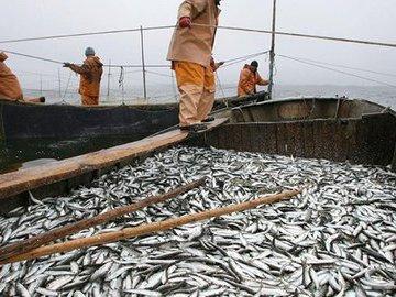 Муксун вместо пеляди. На Ямале воспроизводят особо ценные виды рыб