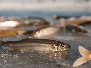 Рыбка-космополит