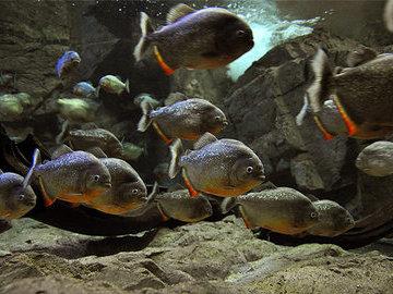 Рыбы-убийцы - пираньи