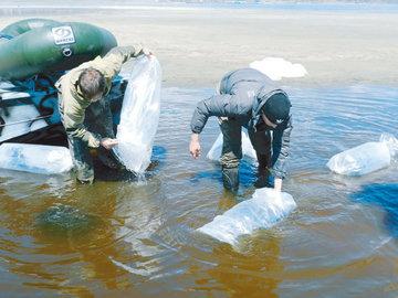 Восстановление байкальского омуля идет с заметным ускорением
