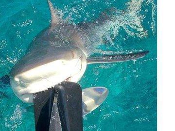 Лимонная акула хотела оторвать мотор у лодки