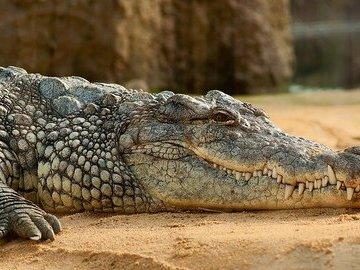 На берег реки в Уэльсе вынесло похожее на крокодила существо