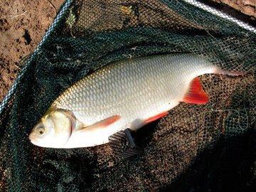 Язь - осторожная рыба. Как ее поймать?