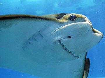 У берегов Индии поймали ската весом 900 килограммов