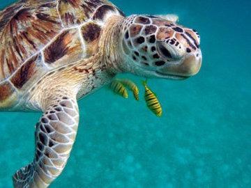Роботизированная черепаха не повлияла на поведение рыб