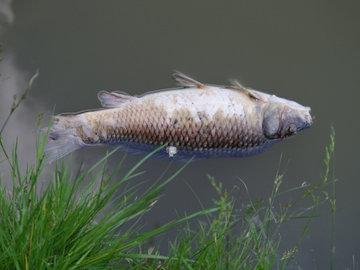 В водоемах Пензенской области массово гибнет рыба