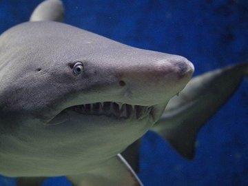 Из-за австралийцев белые акулы остались без еды