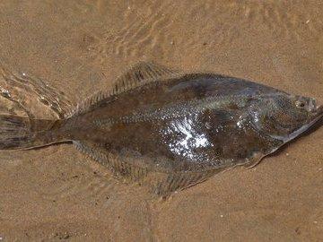Под Анапой браконьер выловил более 200 кг камбалы