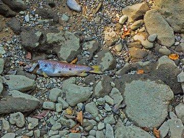 В Краснодарском крае зафиксирована массовая гибель рыбы