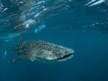 У китовых акул обнаружили зубы на глазах