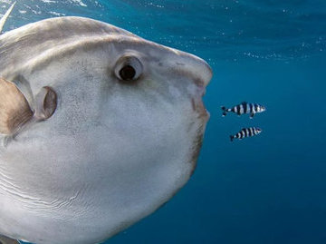 """На австралийском пляже обнаружили огромную """"инопланетную"""" рыбу"""